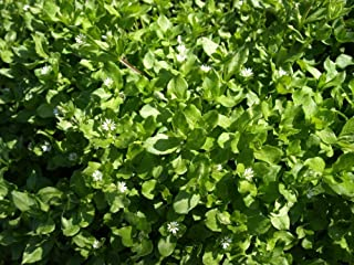 100pcs Herb Chickweed Common (Green) Non-GMO, Open Pollinated Seeds