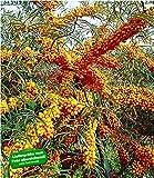 BALDUR-Garten Sanddorn Busch 'Orange Energy®' Paar, 2 Pflanzen Hippophae rhamnoides