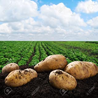 Simply Seed - 5 LB - Yukon Gold Potato Seed - Non GMO - Organic Grown - Order Now for Fall Planting