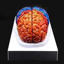 the handy brain model