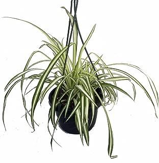 huge spider plant