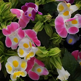 100 Seeds Mix Torenia Founieri Flower Kauai #TRM