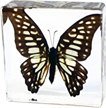 REALBUG Butterfly Paperweight-Common Jay