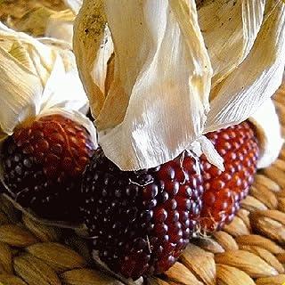 種子:100レッドポップコーンの種 - Everwilde農場マイラーシードパケット
