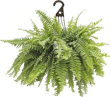 Shrub Boston Fern, 10 inch, Rich Green Foliage