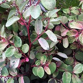 ヨウシュコバンノキ3号ポット苗(Breynia nivosa 'Roseo-picta')【品種で選べる低木・カラーリーフ/1個売り】学名:Breynia nivosa 'Roseo-picta'/コミカンソウ科(トウダイグサ科)ブレイニア属 ...