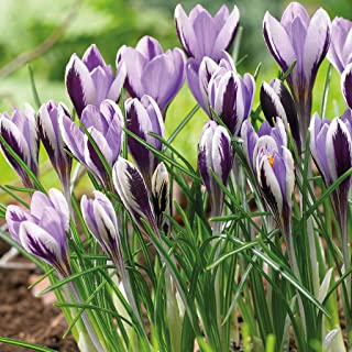 Best crocus spring beauty Reviews