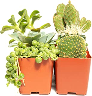 Cacti and Succulent Assorted Pack (9) - Decorate Your Home/Garden with A Variety of Healthy Live Succulent Plants by Jiimz