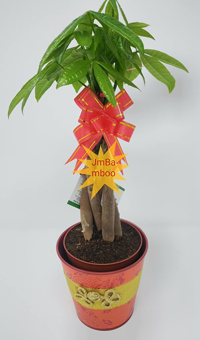 Jmbamboo- Live Lucky 5 Braided Money Tree Into yellow- 1 Pachira with Handmade Pot Plants Lucky for 2018