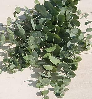 David's Garden Seeds Flower Eucalyptus Silver Dollar 8336 (Green) 50 Non-GMO, Open Pollinated Seeds