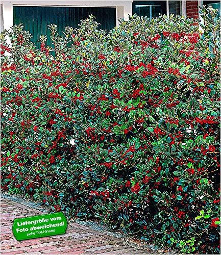 BALDUR-Garten Ilex-Hecke 'Heckenfee®', 5 Pflanzen, Ilex meserveae