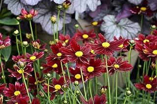 LI'L Bang Red Elf Coreopsis Tickseed Perennial Plant - Live Plant - Quart Pot