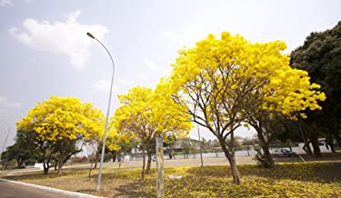 15 Seeds of Tabebuia Chrysotricha - Golden Trumpet Tree