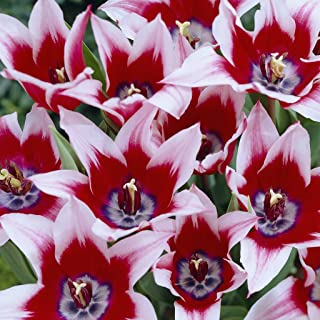 Van Zyverden Tulips Akita Set of 12 Bulbs