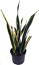 Black Gold Snake Plant -Sanseveria- Impossible to Kill! - 4