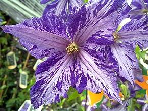 "Tie Dye Clematis - Large 6"" Flowers - Dark Purple/Silver Streaks - 2.5"" Pot"