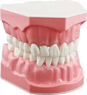 DENTALMALL Dental Model Brushing Flossing Practice Teeth Typodonts Mode Gingiva Visible Anatomic Demonstration Teaching Studying Standard Size