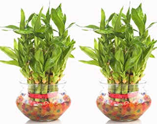 Nurturing Green Combo of 2 Lucky Bamboo Plants in Glass Pot. (Small: 2-Layer Bamboo; 17-19 Stalks)
