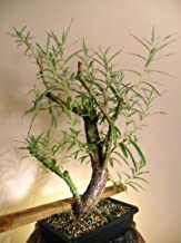 Bonsai White Willow Tree - Large Thick Trunk Cutting - Very Unique and Fast Growing Bonsai, Ships Bare Root