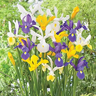Van Zyverden Dutch Iris Mixed Set of 25 Bulbs