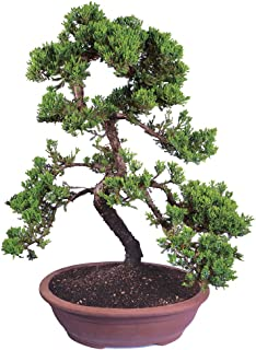 Brussel's Live Green Mound Juniper Outdoor Bonsai Tree - 7 Years Old; 20