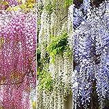 10 piezas de semillas de glicina mixtas árbol de vid trepador de hoja caduca flores coloridas decoración de jardín patio fuerte adaptabilidad planta fácil