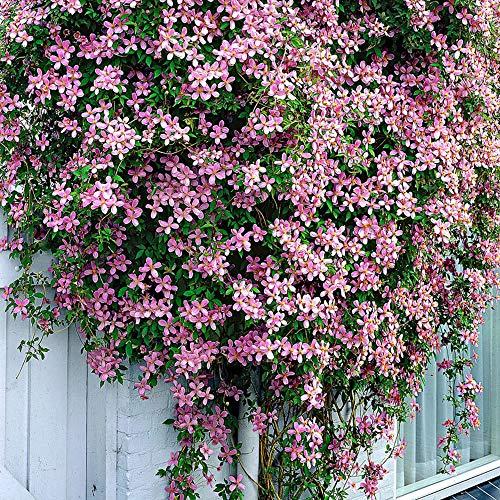 Clematis montana var.'Rubens' | Rosa Clematis Winterhart Mehrjährig | Kletterpflanzen Winterhart |...