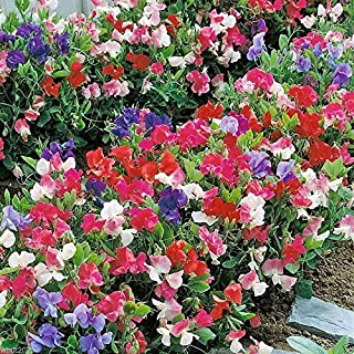 sweet pea knee high mix