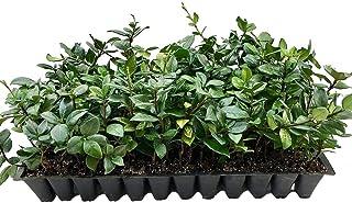 Star Jasmine | 30 Live Plants | Trachelospermum Jasminoides | Fragrant Blooming Evergreen Vine