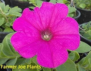 Petunia - Easy Wave - NEON Rose - 4'+ Long - 2 Plants - 4
