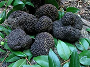 10 G Seeds Spores of Truffle Black Garden Mushrooms Kit / Fungus by Unknown