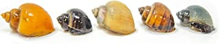 Aquatic Arts 5 Deluxe Mystery Snail Pack | Algae Remover | Substrate Cleaner | Aquarium Filter | Safe in Freshwater Tetra | Betta Tanks