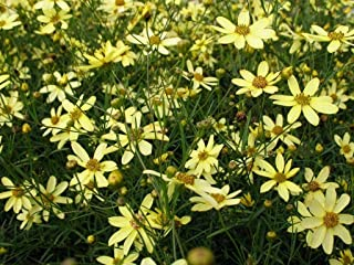 6 Plants Tickseed Coreopsis Verticillata Moonbeam Live Plant