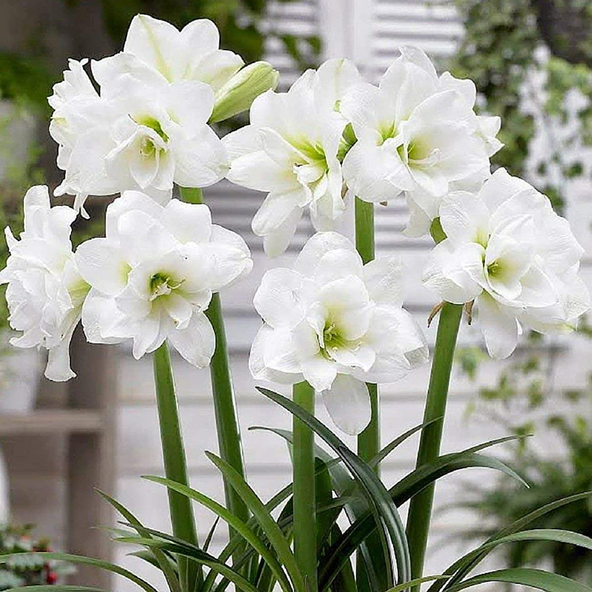 True Amaryllis Bulbs,Hippeastrum Bulbs Bonsai Flower Bulbs Amarilis Barbados Lily Bonsai Garden planta -2 Bulb 22/24cm