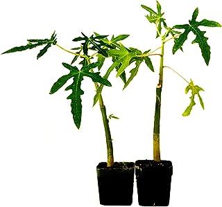 9GreenBox -TR Hovey Papaya Carica L. Caricaceae ~ Miniature Tree- 2 Pack
