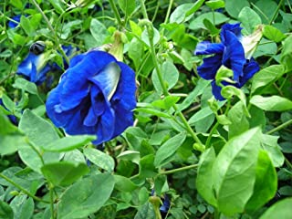 Best blue butterfly pea seeds Reviews