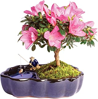 Brussel's Live Satsuki Azalea Outdoor Bonsai Tree in Zen Reflections Pot - 4 Years Old; 8