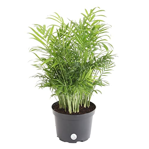Palm Plants For Indoors: Indoor Palms Plants: Amazon.com