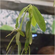 20 Dancing Grass Telegraph Plant It really can dance (Codariocalyx motorius) ~Chris's garden