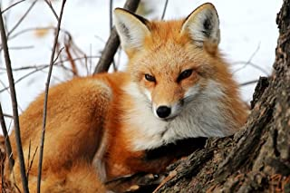 Red Fox in Winter (12x18 Art Print, Wall Decor Travel Poster)