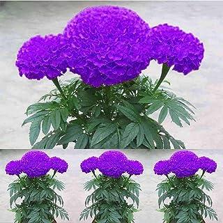Ultrey Samenshop - 100 Stück Blau Ringelblume Samen Studentenblume Blumensamen Sommerblumen Saatgut Blütenmeer für Garten Beet/Wiesen