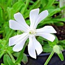100+ Silene capensis/African Dream Root Seeds Worldwide