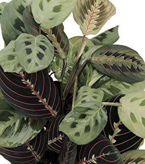 Shop Succulents | Maranta Red 'Prayer Plant', Naturally Air Purifying House Plant, Easy Care, Live Indoor House Plant in | Collection of 2 in 4