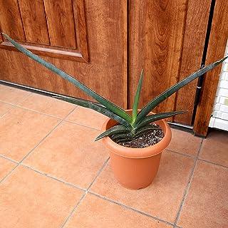 サンスベリア・ロブスター・ブルー 観葉植物 中型 7号プラスチック鉢【品種で選べる観葉植物・リビングやオフィス向きサイズ/1個】まだあまり出回っていない希少種です。ブルーグレイの葉がお洒落で特徴的です。数あるサンスベリアの中でも希少価値の高い品...