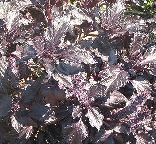 Basil Purple Ruffles Seeds Bulk Rare Unique Pesto Herb Cook #196 (250 Seeds)