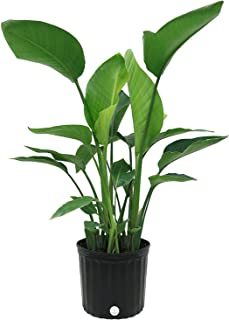 Costa Farms, Premium Live Indoor Strelitzia Nicolai, White Bird of Paradise Floor Plant in 9.25-Inch Grower Pot, Shipped Fresh From Our Farm, Excellent Gift