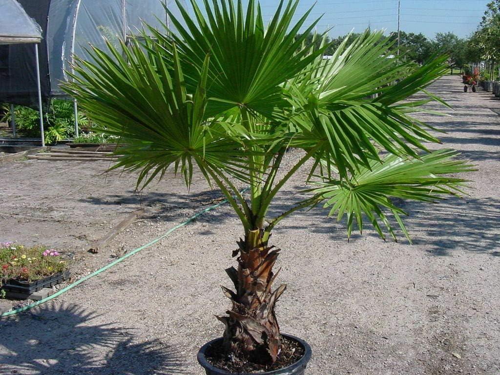 Washingtonia Filifera Palm Tree Now free shipping NEW before selling