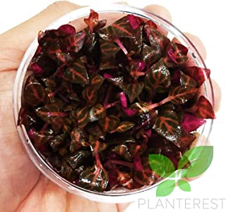 Alternanthera Reineckii Rosanervig Red Tissue Culture Cup Freshwater Live Aquarium Plants Decoration BUY2GET1FREE