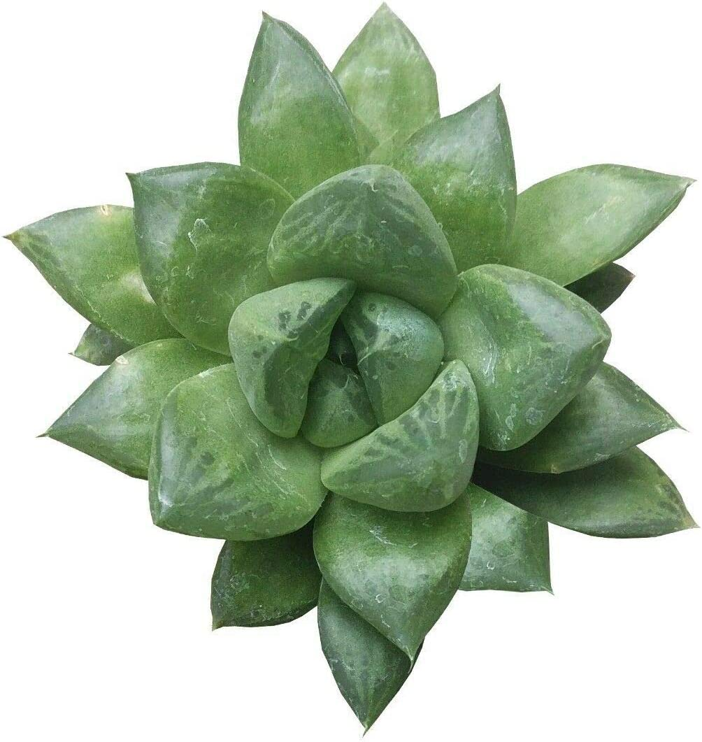 AchmadAnam Succulent Plant Product - Catevala Cuspidata Hawort Haworthia Bombing free shipping