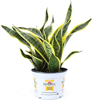 golden smoke plant